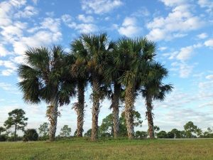 most durable trees in Florida